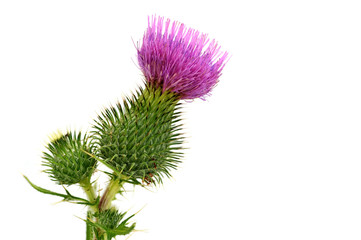 Pink Thistle flower. Thistle flower isolated on a white background. National flower of Scotland. Close up.