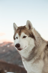 Profile portrait of cute Siberian husky is on the snow at sunset. Close-up of Husky dog sitting on mountain background