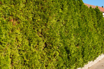 Thuja Lebensbaum Hecke grün