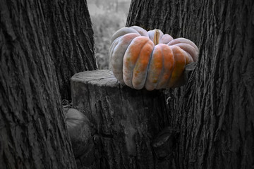 Pumpkin in the garden stock images. Beautiful autumn decoration with pumpkins. Halloween pumpkin decoration in the garden. Orange gourd on a black and white background. Pumpkin on a tree