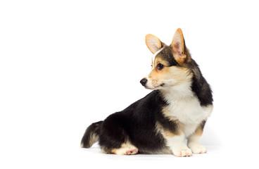 corgi puppy looking