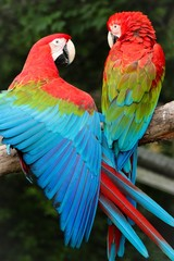Two scarlet macaw perching on branch in Queens Zoo
