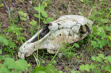 Skull of a horse on a grass.