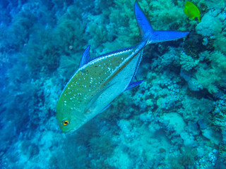 Fish, Red Sea