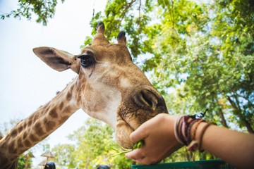 Low angle view of a woman feeding giraffe in a zoo