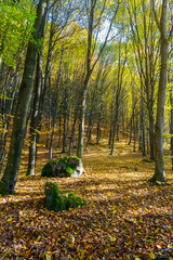 autumn forest on a sunny day. mossy boulders among the fallen foliage. lovely november scenery