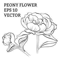 Hand drawn peony flower in vector
