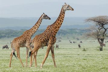 Masai giraffes (Giraffa tippelskirchi), Serengeti, Tanzania
