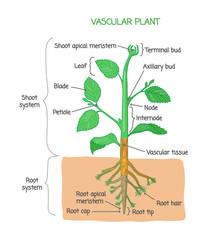 Vascular plant biological structure labeled diagram, vector illustration