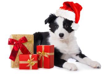 Border Collie Welpe mit Weihnachtsgeschenken