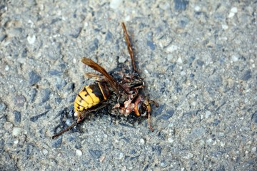 Dead wasp on the ground