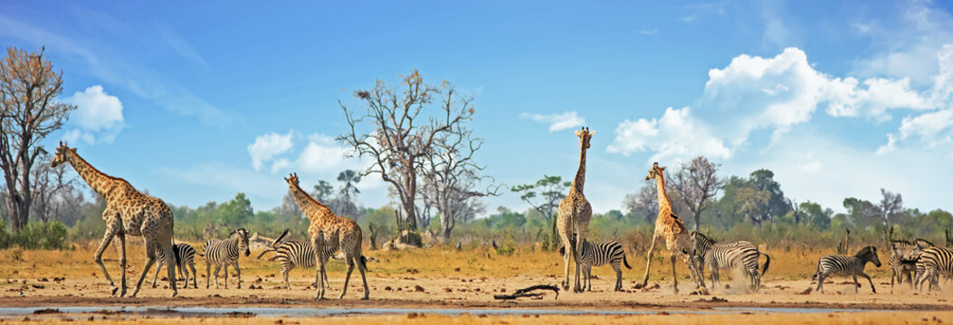 Typical African Vista with zebra and giraffe around a waterhole with a natural bushveld background. Hwange National Park, Zimbabwe. Heat Haze is visible