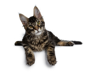 Wall Mural - Handsome dark black tabby Maine Coon cat kitten laying down with paws over edge looking at lens with tilted head to the left. Isolated on a white background.