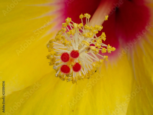 Yellow Tropical Hibiscus Flower Stigma Close Up Stock Photo And