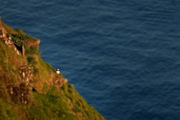 Atlantic puffin, fratercula arctica, Faroe island
