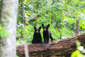 Twin Black Bear Cubs
