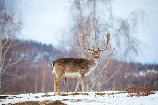 Beautiful male deer in winter