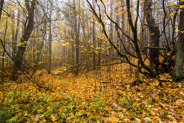 An autumn forest landscape. Morning fog in the forest, green and golden leaves and trees. Latvia