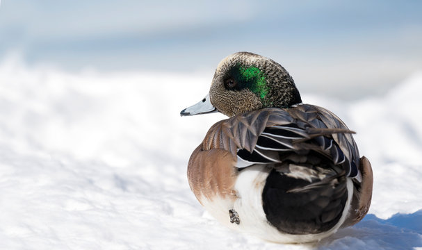 american wigeon male sitting on snow