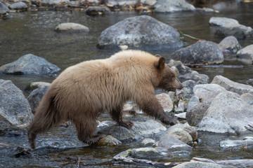 Young Light Brown Cub Crossing Creek