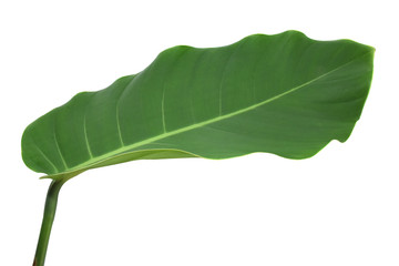 Tropical leaf green on white background.