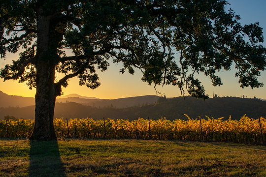 A sunset lights up the horizon sky, oak branches, and golden vines in an Oregon vineyard.