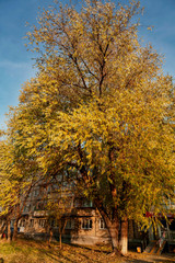large elm tree with autumn leaves