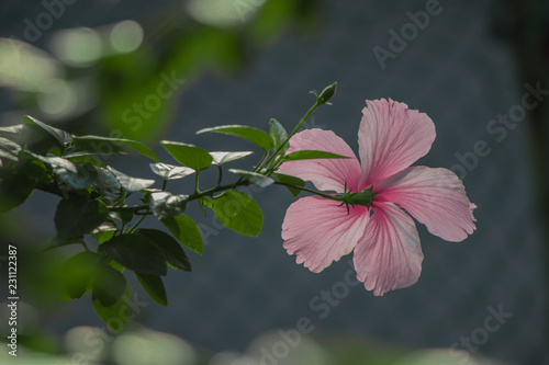 Pink Hibiscus Rosa Sinensis Flower Or Shoe Flower Beautiful In The