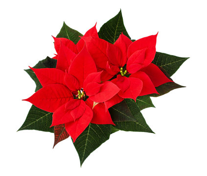 Closeup of red Christmas poinsettia flowers