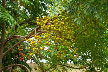 Neem tree natural medicine and fruit growing near Pune, Maharashtra.