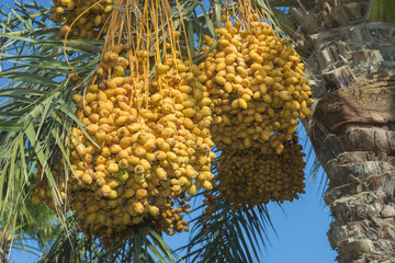 Ripe yellow fruits dates on date palm on the blue sky background