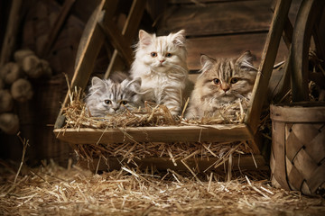 Pedigree striped fluffy cats in an old barrel with a straw in the attic