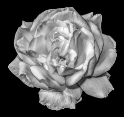 Fine art still life floral monochrome flower amcro portrait image of a single isolated white blooming rose blossom on black background with detailed texture in vintage painting style