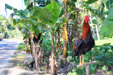 Roosters tied by the road on Cebu Island, Philippines