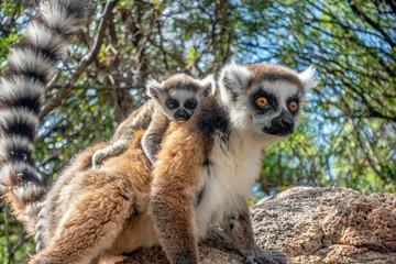 Ring Tailed Lemur  kata ,Close up Ring-tailed lemur baby and mother.Wild nature Madagascar