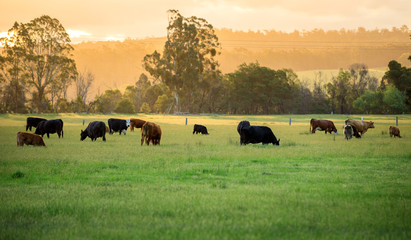 Australian cattle farm in Victoria, Australia
