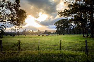 Australian cattle farm in Victoria, Australia