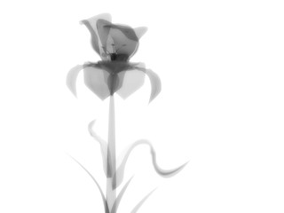 Radiography flower photo, macro on white, x-ray semi transparent, model, art and science, 3D rendering image