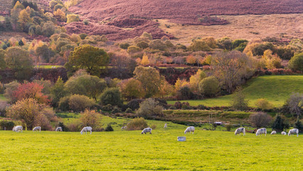 Foto op Plexiglas Zalm Colorful autumn landscape with a sheep herd grazing and hills and trees in the background. Typical Irish countryside scene.