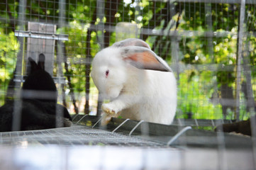 White rabbit with red eyes behind bars eats