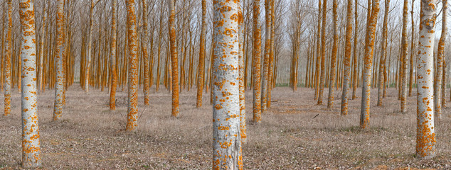 Rows of bare trees in woods
