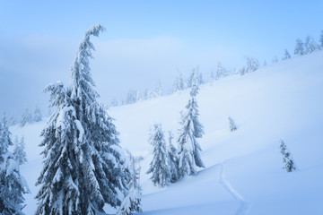 Fototapete - Winter weather in the mountain spruce forest