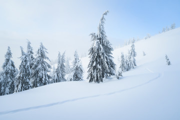 Fototapete - Snowy weather in the mountain spruce forest