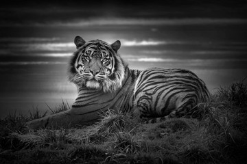 Tiger laying down resting and staring looking straight ahead monochrome black and white image