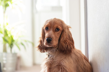 Beautiful Cute Golden Brown Cocker Spaniel Dog Puppy