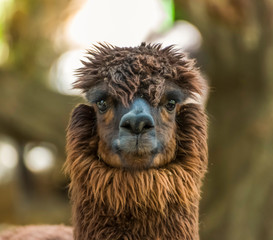 Close up of red brown cute ALPACA face with eye staring