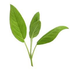 Fototapeta Fresh sage leaves isolated on white background obraz
