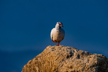 Pigeon isolated view with blue sky background