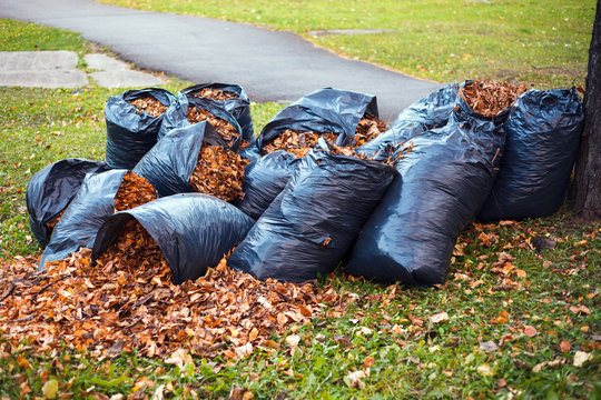 Yellow and brown foliage is collected in several black plastic garbage bags and scattered on the green grass stands under a tree in a city park. Concept of autumn in city garden cleaning the city