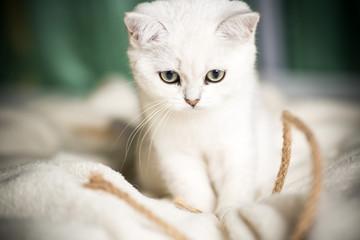 beautiful young cat breed Scottish chinchilla straight